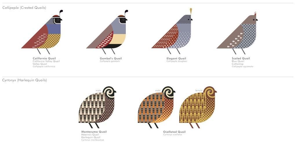A selection of illustrated quails, including the California Quail and spiral-faced Montezuma Quail