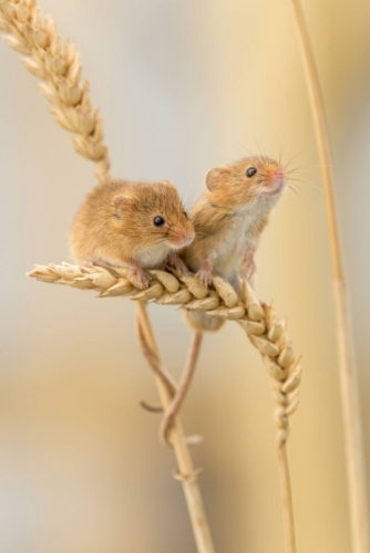 Two adorable harvest mice sitting on an ear of corn bending under their weight, tails wrapping around the stalk, as one sniffs the air.