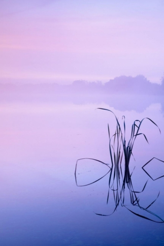 A small clump of reeds is silhouetted against a misty lake and sunrise with beautiful but cold colours and the hint of a shoreline in the distance.