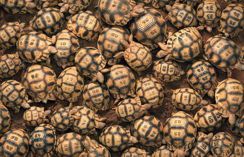 Around twenty heaped tortoises each with a unique code engraved on the back of the shell.